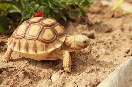 Sulcata tortoise how long how to raise life
