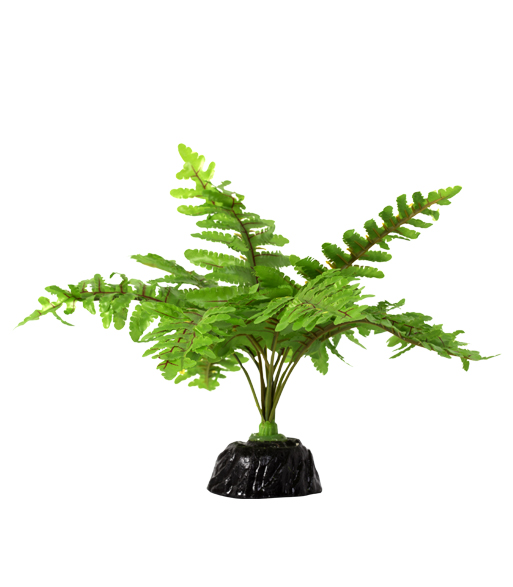 TP015  Boston fern